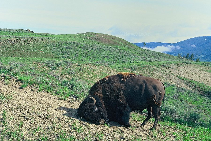Bison bull horning in Yellowstone National Park, USA