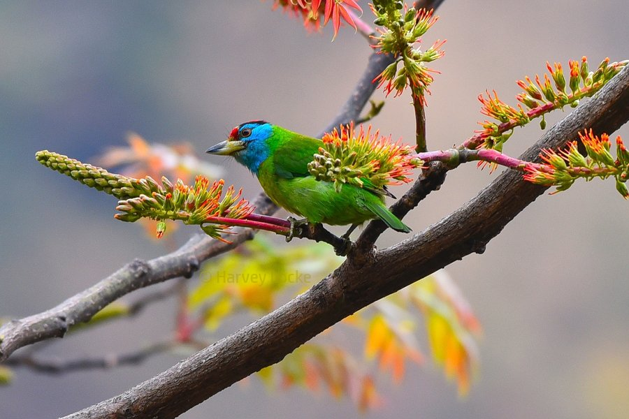 Blue throated barbet (2016)