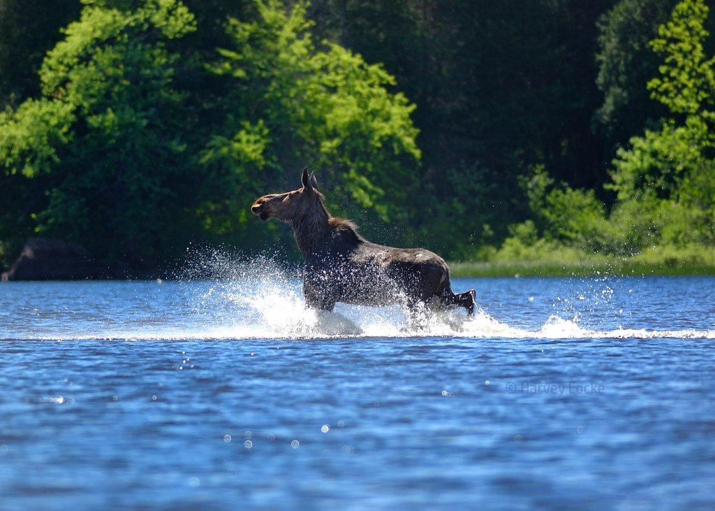 Moose, Algonquin Provincial Park, Canada, 2012