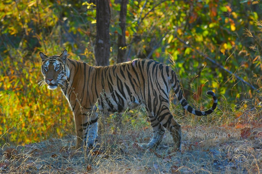 Tigress in Bandharvgarh National Park in Madhya Pradesh, India