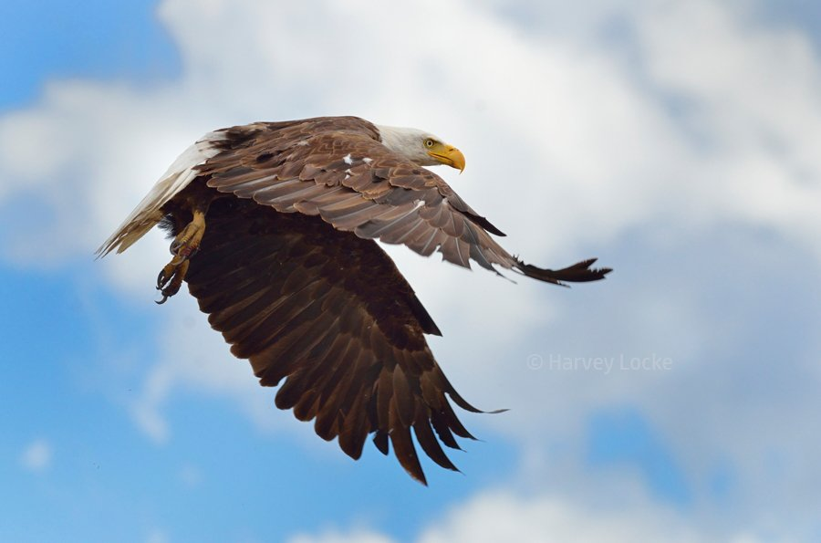 Bald eagle in Centennial Valley, Montana, USA (2014)