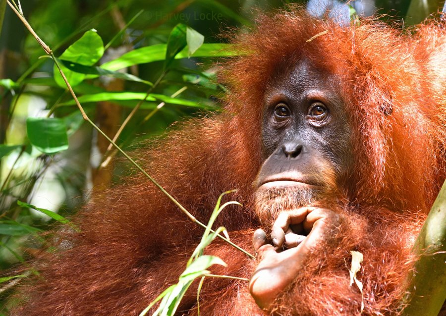 Female orangutan in Gunung Leuser National Park, Sumatra, Indonesia (2016)