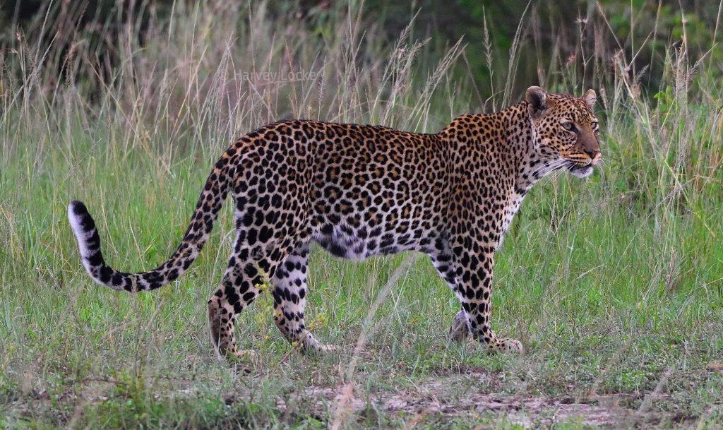 Leopard, Masai Mara National Reserve, Kenya, 2018