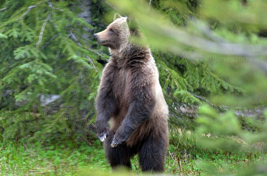 Grizzly bear in Banff National Park, Alberta, Canada