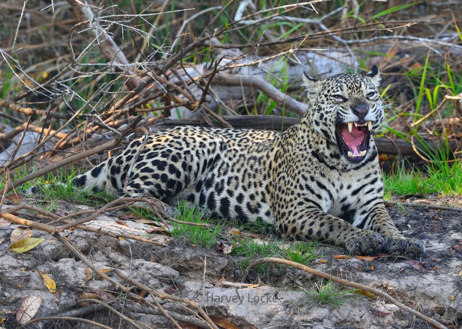 Jaguar in Pantanal Conservation Area, Brazil (2017)