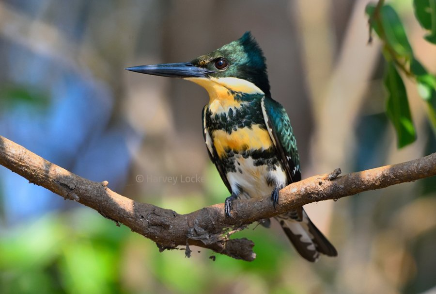 Green kingfisher in Pantanal Conservation Area, Brazil (2017)