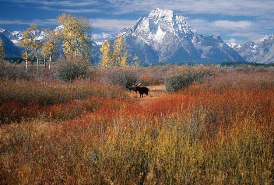 Moose in Moran near Grand Teton National Park, Wyoming, USA (2005)